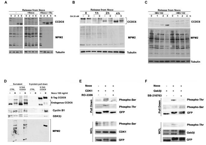 CCDC6 behaviour during mitotic arrest depends on the CDK1 activity.