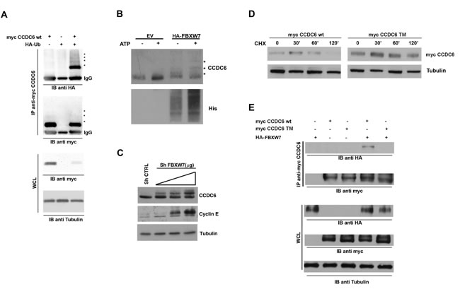 FBXW7 increases CCDC6 turnover via increasing CCDC6 ubiquitination.