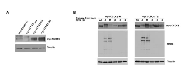 CCDC6 turnover is impaired by mutations in the phosphoresidues of the CCDC6 degron motifs recognized by FBXW7.