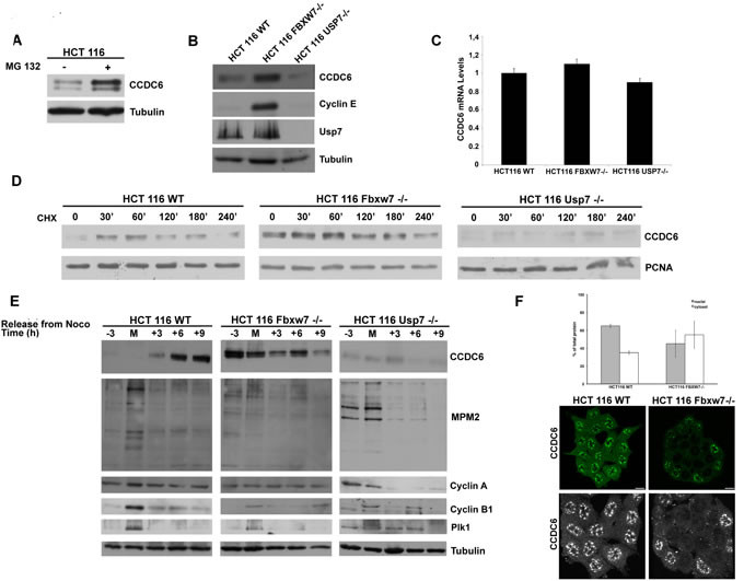 FBXW7 deficiency leads to CCDC6 stabilization and affects CCDC6 turnover rate.