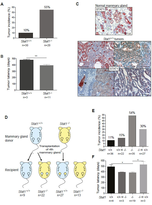 (A-C) Loss of STAT1 increases incidence and decreases latency of mammary tumors.