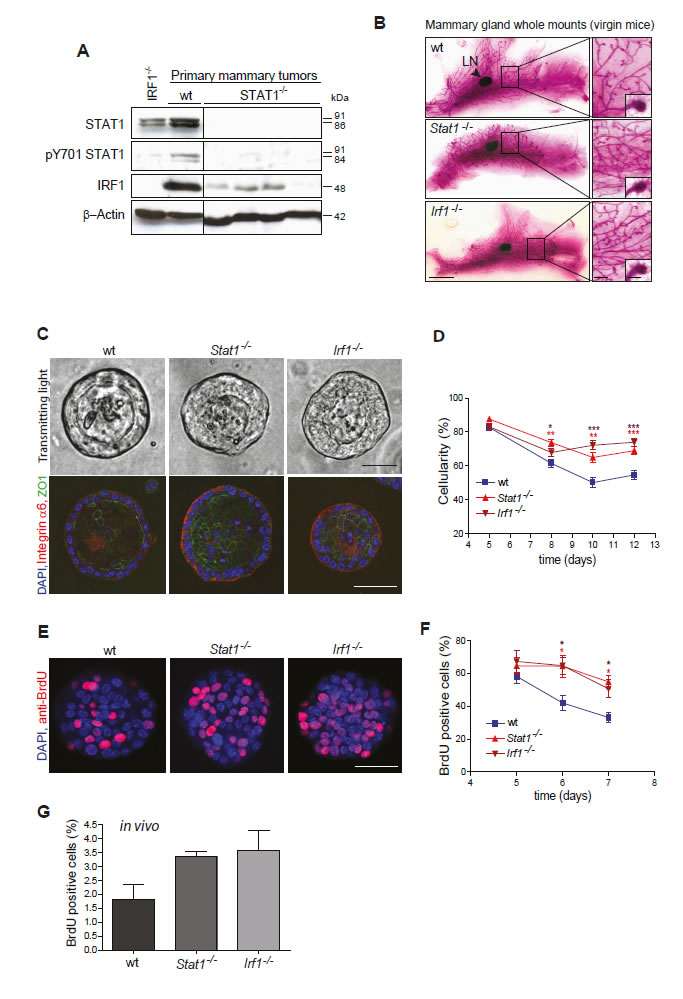 (A, B) Loss of STAT1 might cause mammary tumor formation by down-regulating IRF1.