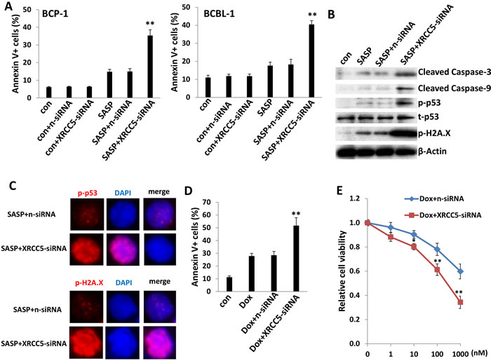 Targeting XRCC5 impairs DNA-damage repair abilities of PEL cells and promotes chemicals-induced apoptosis.