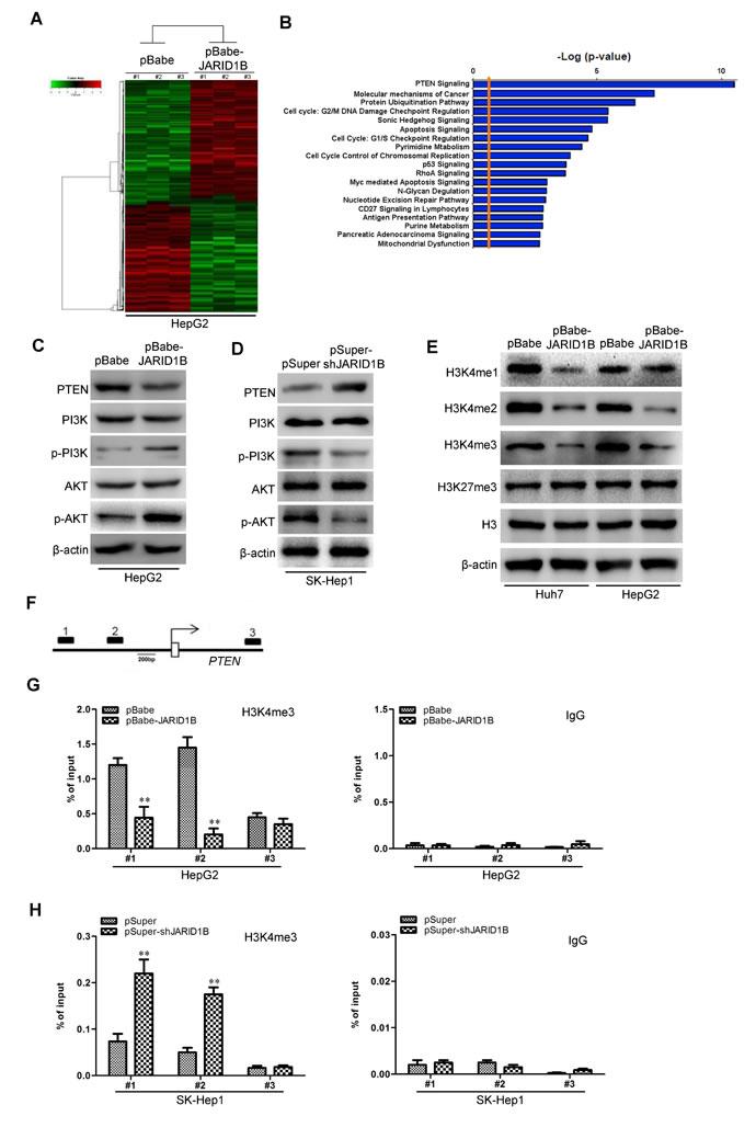 JARID1B downregulates PTEN expression in HCC cells.