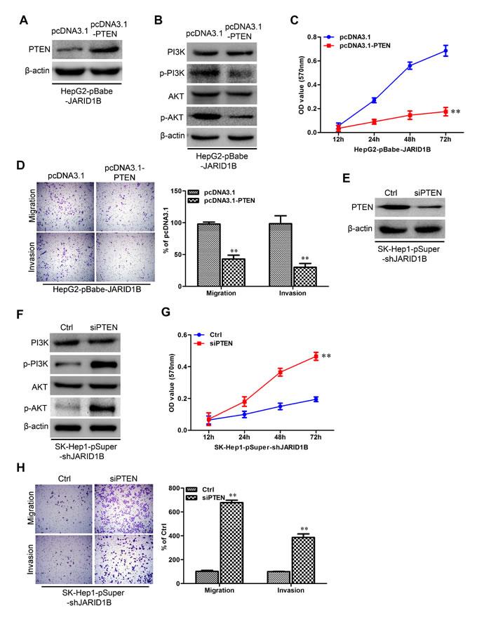 JARID1B regulates PTEN transcriptional expression through H3K4 trimethylation.