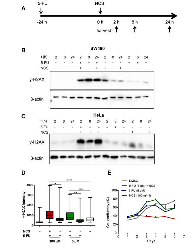 5-FU in combination with NCS leads to persistent γ-H2AX accumulation and decreased survival.