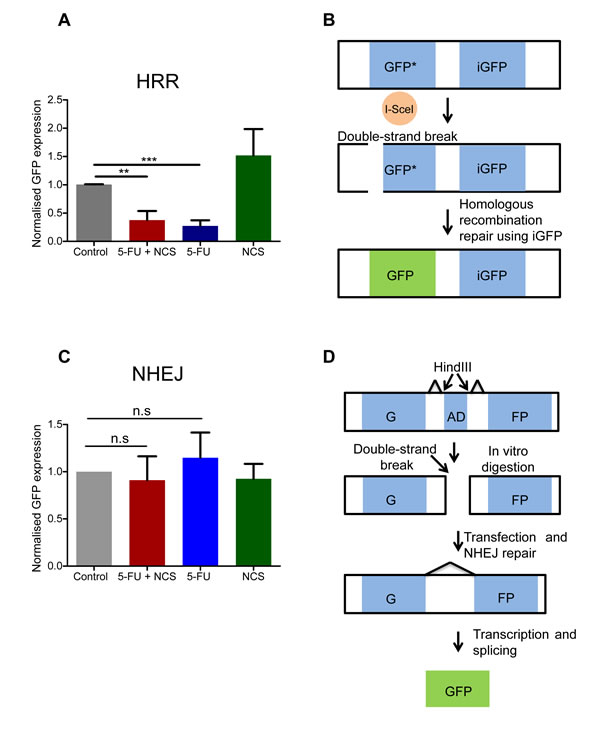 5-FU reduces the homologous recombination repair.