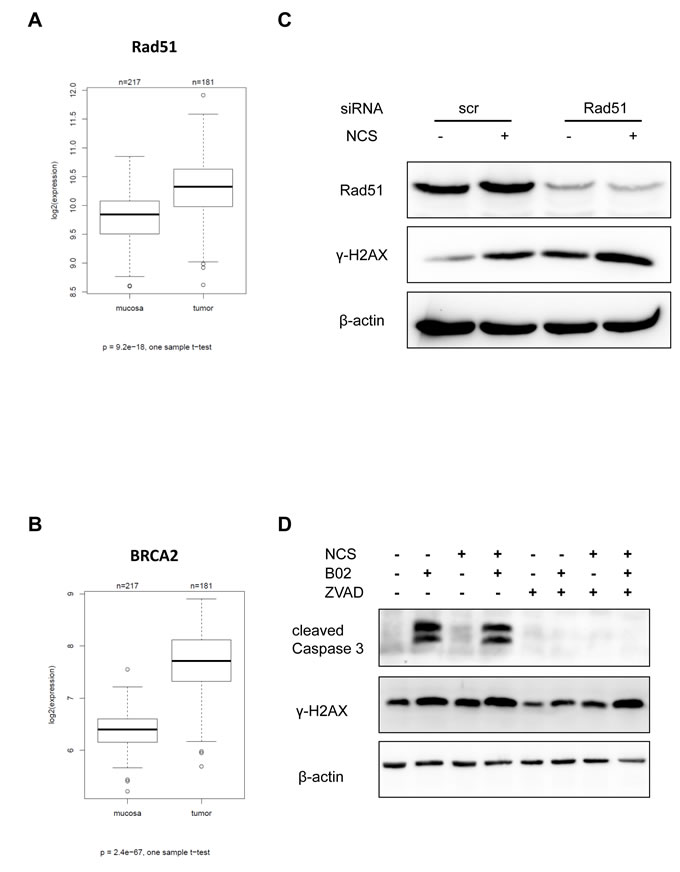 Inhibition or knockdown of Rad51 also leads to persistent γ-H2AX.