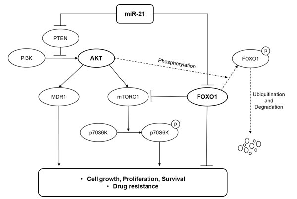 A model illustrating the regulation of the PI3K/AKT/mTOR/FOXO1 pathway by miR-21 at multiple levels in DLBCL.