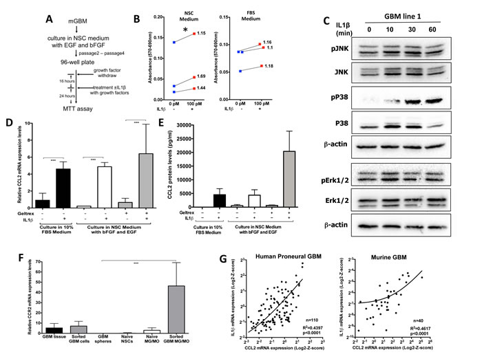 IL1β treatment increases glioma cell growth/viability, activates p38/JNK and NF-κB pathways in GSC-enriching medium, and leads to activation of CCL2 expression.