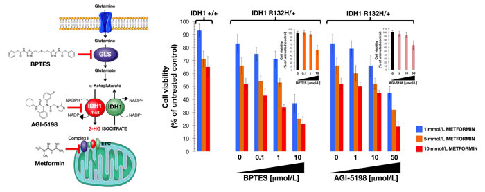 Interaction between metformin and drugs targeting the glutamine-driven production of 2HG in IDH1 mutant cells.