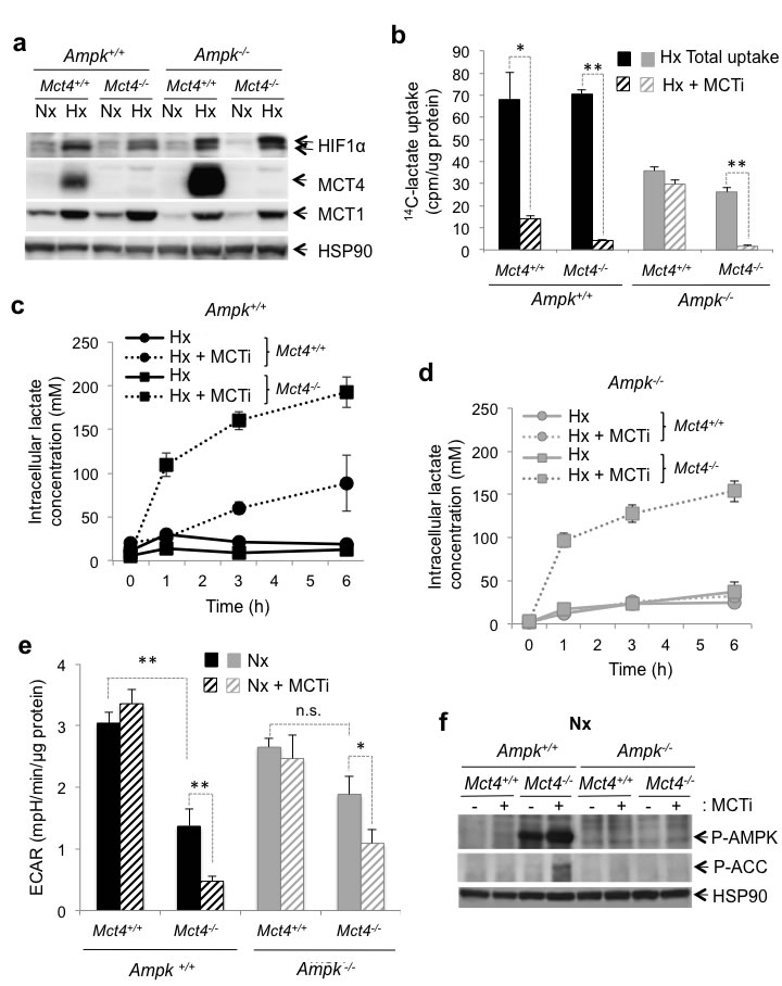 The MCT1 pharmacological inhibitor (MCTi) reduced lactate transport and the glycolytic rate in