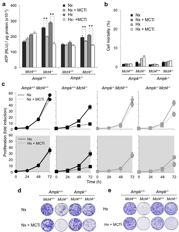 Pharmacological inhibition of MCT1 (MCTi) in combination with knockout of