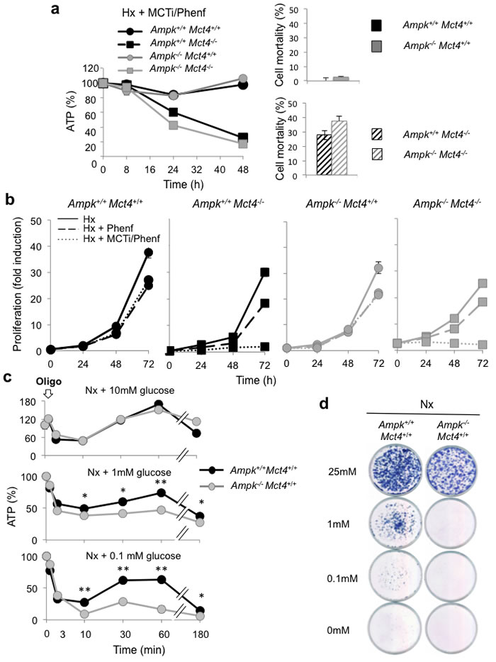 AMPK is not sufficient to guaranty viability in response to inhibition of MCT1 (MCTi) and MCT4 (