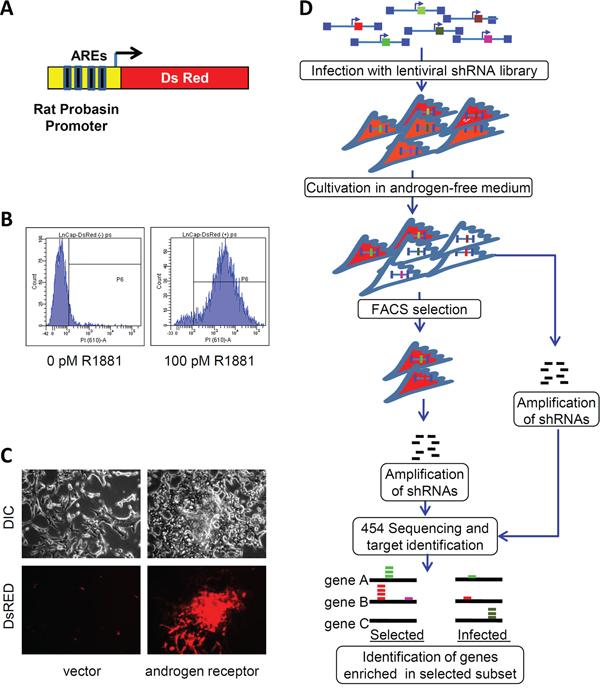High throughput screening for shRNAs stimulating AR activity in low androgen environment.