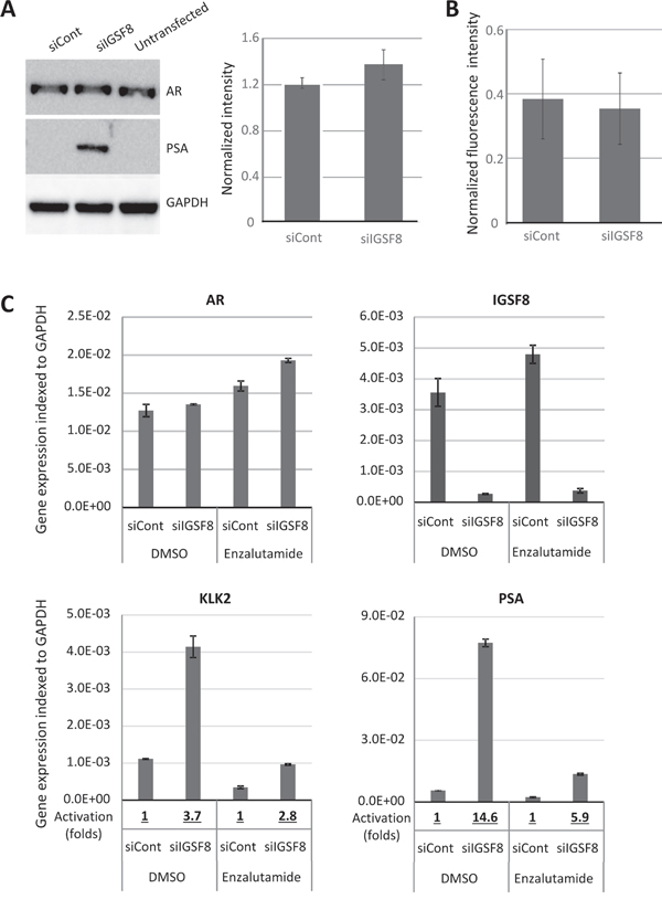 IGSF8 knockdown effects is dependent of AR but does not change AR expression.