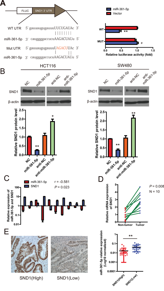 miR-361-5p downregulates SND1 expression by directly binding to its 3′-UTR.