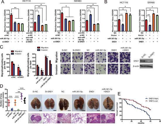 SND1 critically contributes to the cancer-inhibitory function of miR-361-5p.