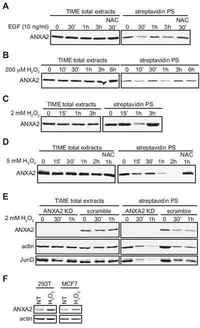 Cellular ANXA2 is responsive to reactive oxygen species.