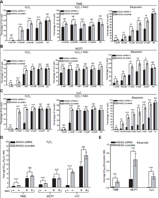 ANXA2 depleted cells are more sensitive to oxidative stress induced death.