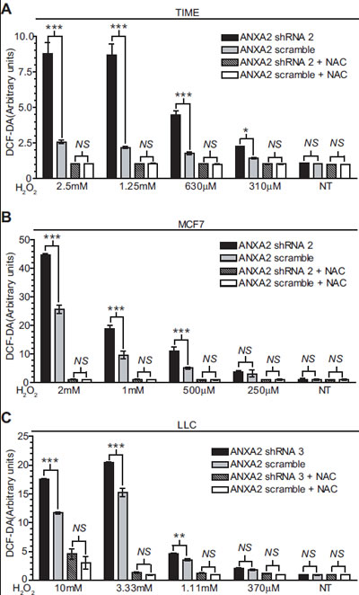 ANXA2 depleted cells accumulate higher levels of ROS upon oxidative stress.
