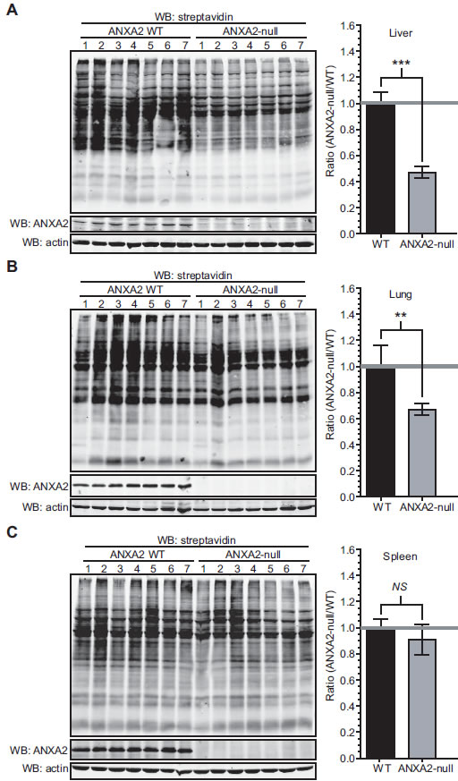 ANXA2-null mice show increased protein oxidation in the liver and lungs.
