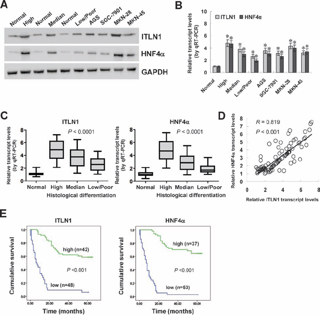 HNF4α was positively correlated with ITLN1 expression in gastric cancer tissues and cell lines.