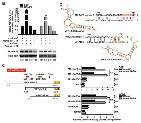 ARHGAP5 was a direct transcriptional target of miR-744 in NPC cells.