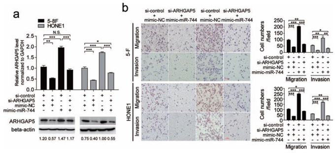 Silencing of ARHGAP5 abrogated the effects of miR-744 on migration and invasion in NPC cells.