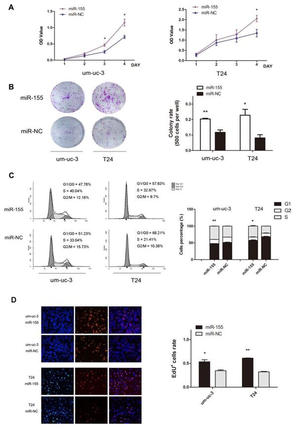 MiR-155 promotes proliferation of bladder cancer cells.
