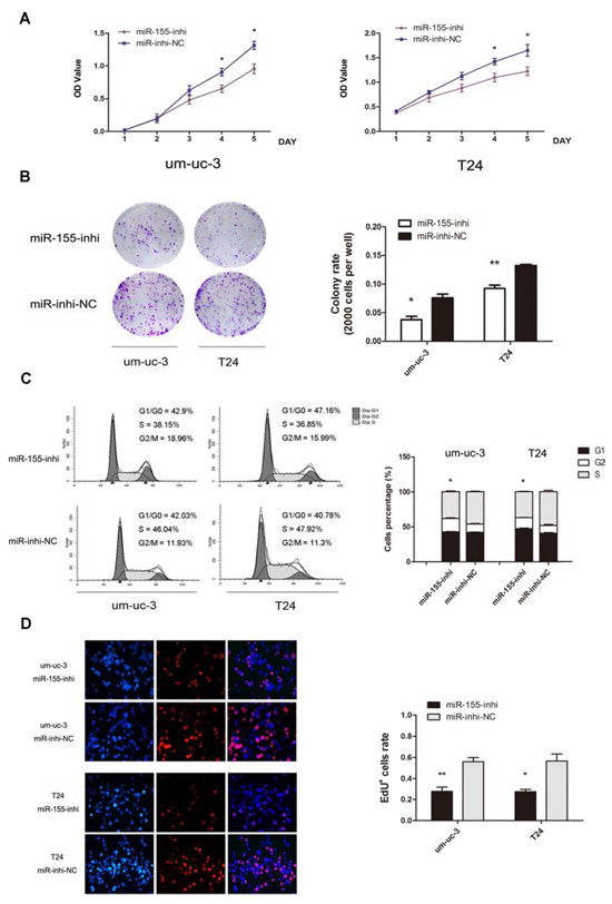 Inhibition of miR-155 decreases cell growth of bladder cancer cells.
