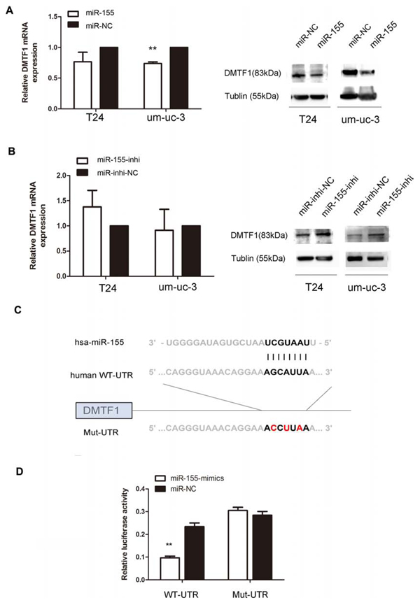 DMTF1 is a direct target of miR-155 in bladder cancer cells.