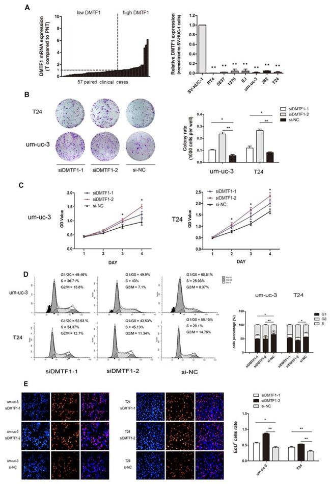 Knockdown of DMTF1 promotes cell proliferation in vitro.