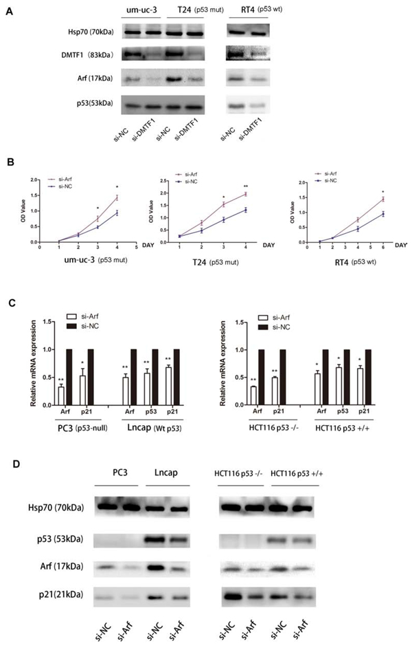 DMTF1-Arf-p53 pathway and functional study.