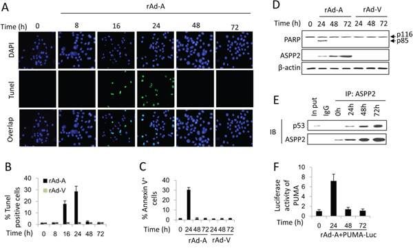 ASPP2-induced apoptosis is impaired in hepatoma cells.