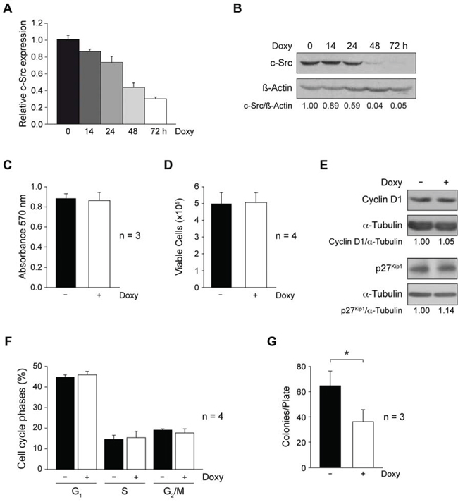 Involvement of c-Src in cell proliferation and anchorage-independent growth of MDA-MB-231-Tet-On-shRNA-c-Src.