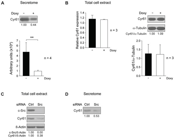 c-Src suppression reduces Cyr61 in MDA-MB-231-Tet-On-shRNA-c-Src and in SUM159PT cells.