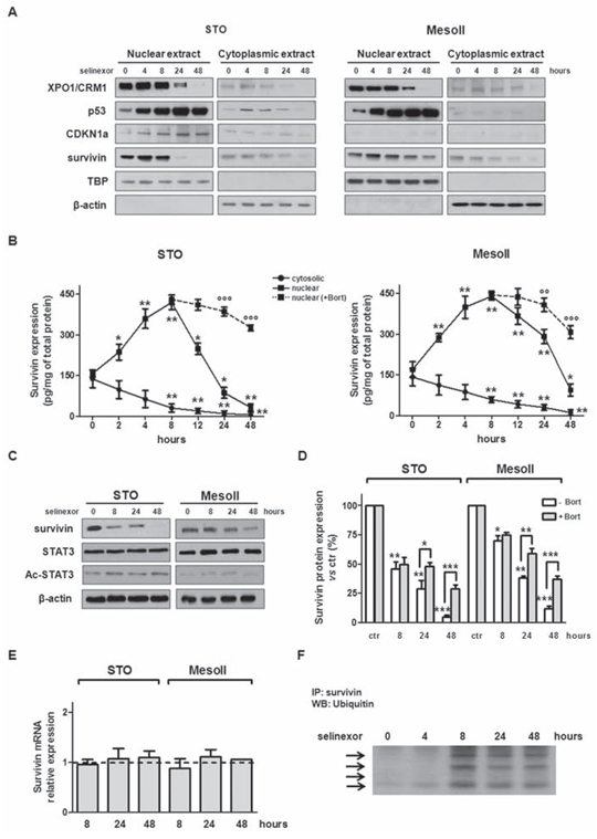 SINE inhibit XPO1/CRM1 functions, interfere with survivin subcellular distribution and promote its proteosome-dependent degradation.