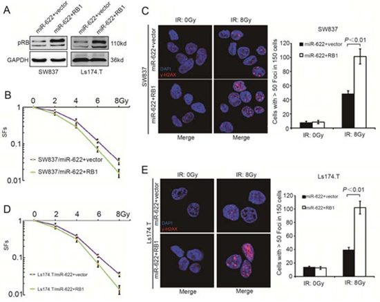 RB1 reverses miR-622 induced radioresistance in vitro.