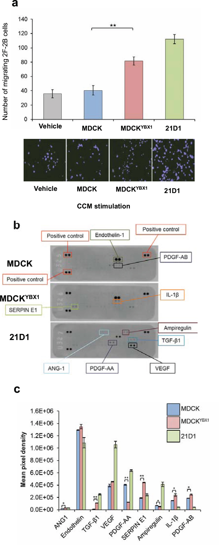 MDCKYBX1 cells secrete angiogenic factors which increase endothelial cell migration.