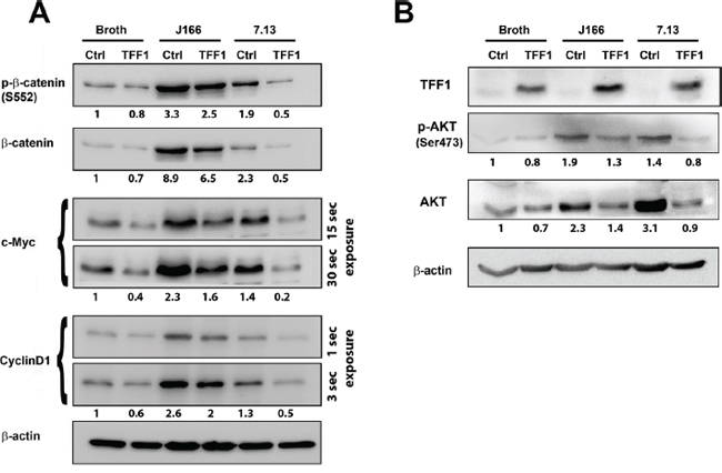 Reconstitution of TFF1 suppresses protein expression of β-catenin target genes in H. pylori-infected cells.