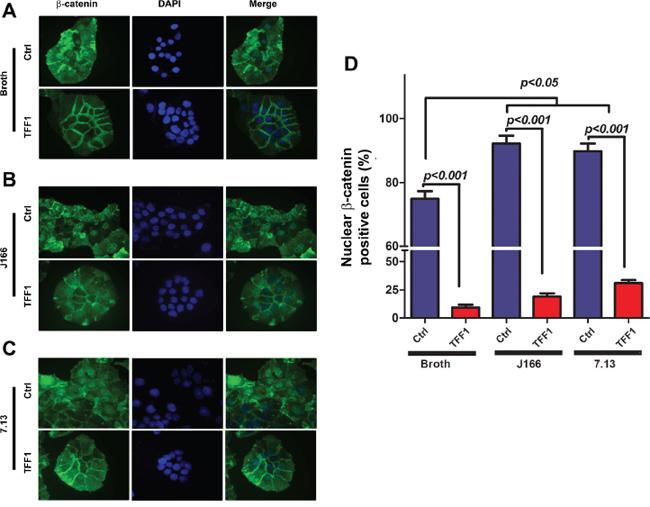 Reconstitution of TFF1 suppresses H. pylori-mediated nuclear localization of β-catenin.
