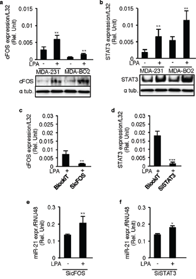 LPA-induced miR-21 expression is independent of STAT3 and cFOS.