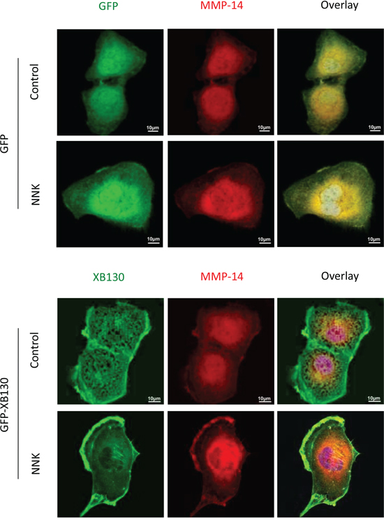 Over-expression of XB130 promoted MMP-14 translocation to actin-rich cellular structures.