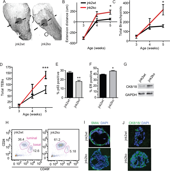 Absence of JNK2 accelerates pubertal mammary development and alters mammary cell differentiation.