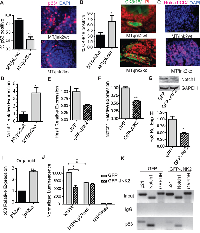 Absence of jnk2 in MT tumors increases luminal cell populations and enhances p53 and Notch1 expression.
