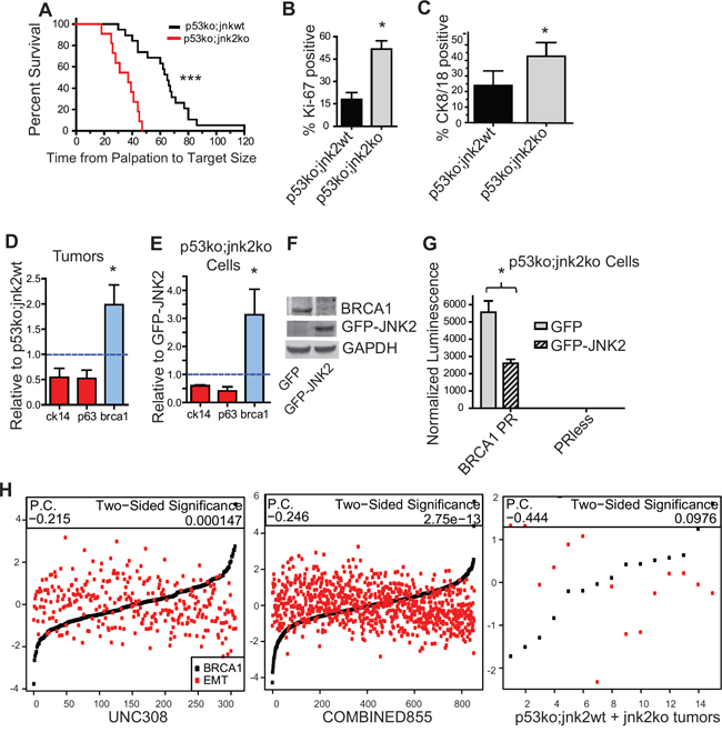 Absence of jnk2 increases the luminal cell population and BRCA1 expression in p53ko tumors.