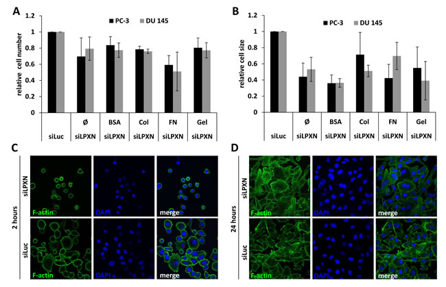 LPXN knockdown decreases adhesion and cell size.