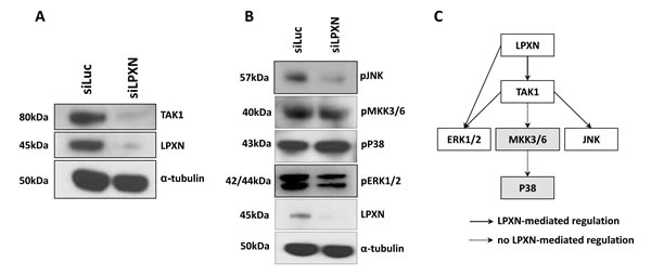 P38 is not involved in LPXN-mediated signaling.