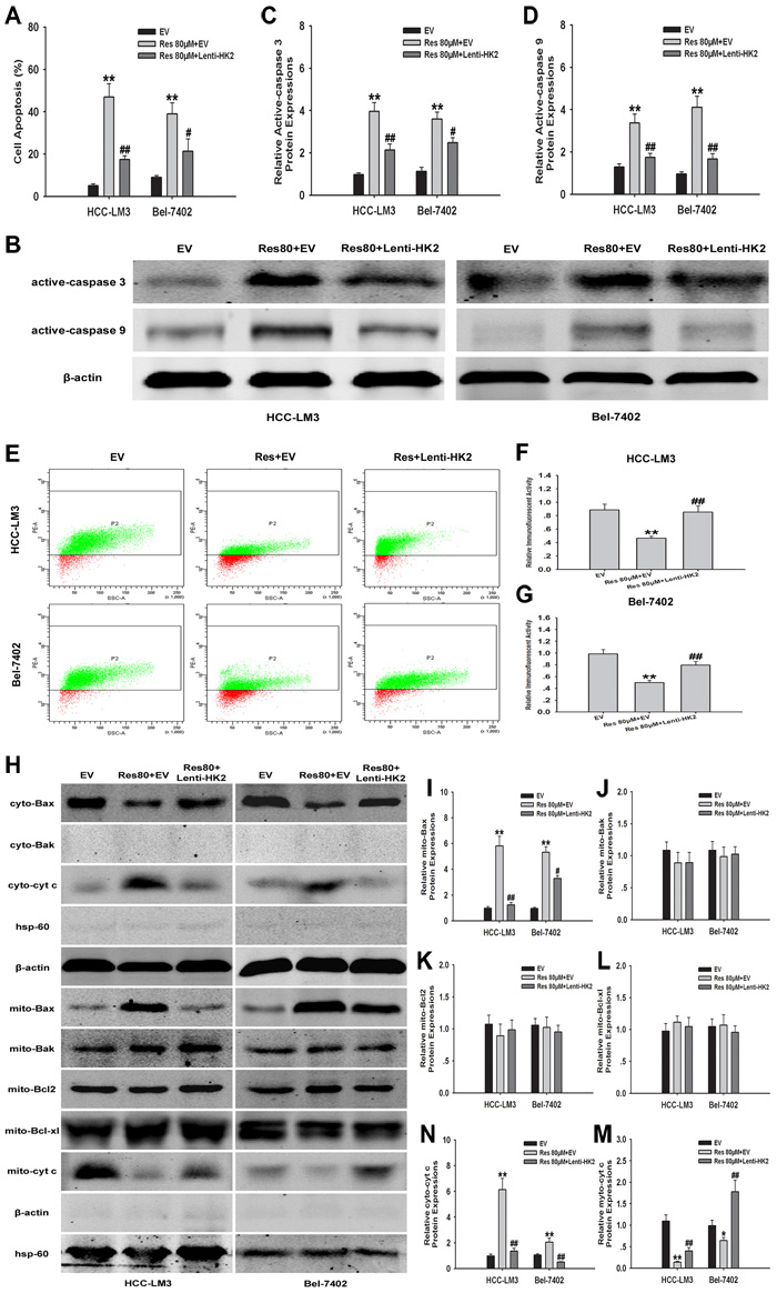 HK2-overexpression in aerobic glycolytic HCC cells reduces resveratrol-induced mitochondrial apoptosis.